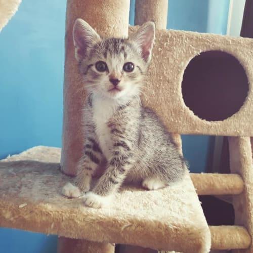 Alva - Domestic Short Hair Cat