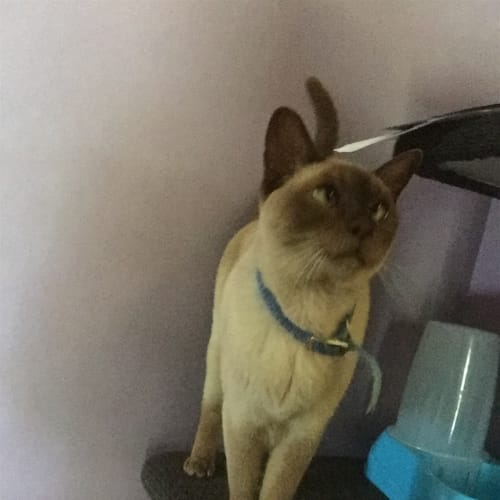 Bella - Burmese Cat