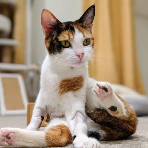 Sugar Babe Twig (Twiggy) - Domestic Short Hair Cat