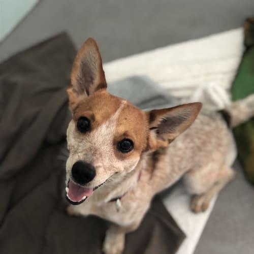 Jalen - Jack Russell Terrier x Heeler Dog