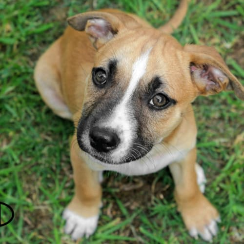 Pascel NP0193 - American Staffordshire Terrier Dog