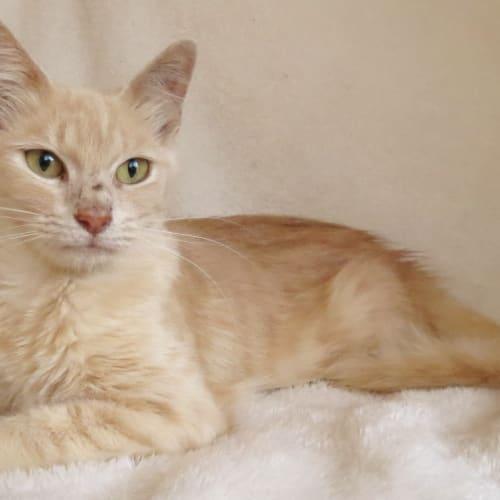 Fizzgig - Domestic Short Hair Cat