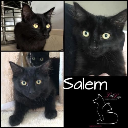 Salem - Domestic Medium Hair x Manx Cat