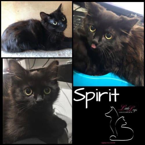 Spirit - Domestic Medium Hair x Manx Cat