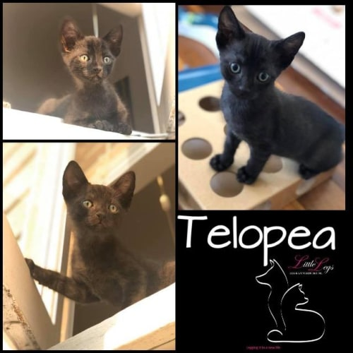 Telopea - Domestic Short Hair Cat