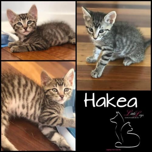Hakea - Domestic Short Hair Cat