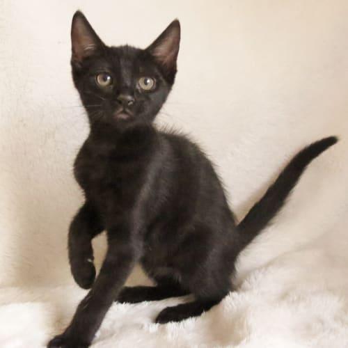 Joanna Goanna - Domestic Short Hair Cat
