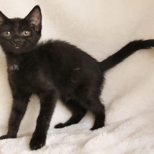 Gecko - Domestic Short Hair Cat