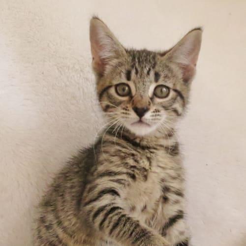 Pancake - Domestic Short Hair Cat