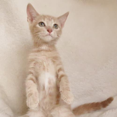 Zowie - Domestic Short Hair Cat