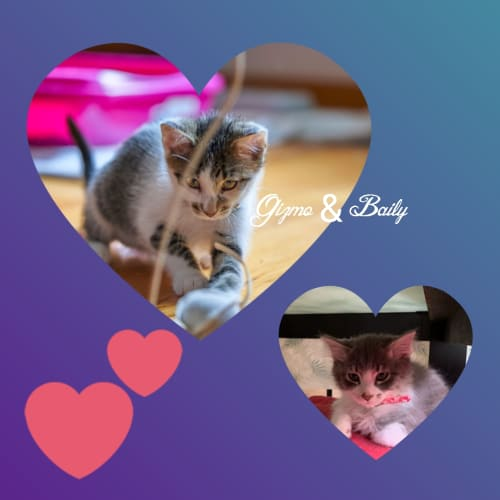 Gizmo & Baily ❤❤ - Domestic Short Hair Cat