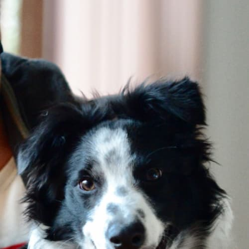 Odie   - Border Collie Dog