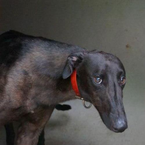 Atticus - Greyhound Dog