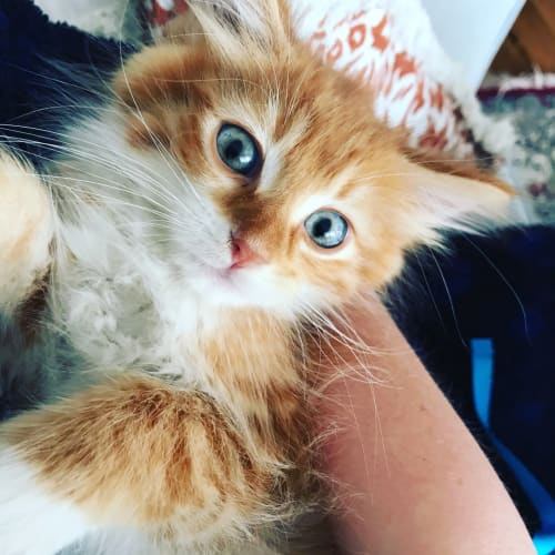 Florence - Domestic Medium Hair Cat
