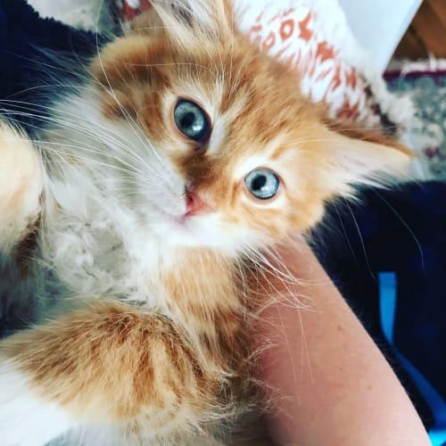 Florentine - Domestic Medium Hair Cat