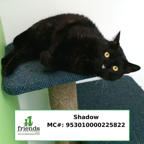 Shadow - Domestic Short Hair Cat