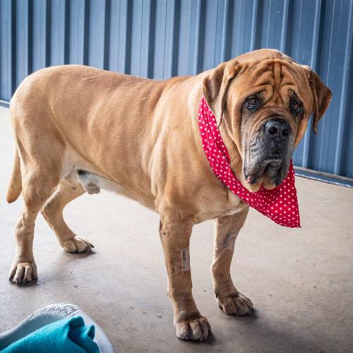 Andre - Mastiff X Dog