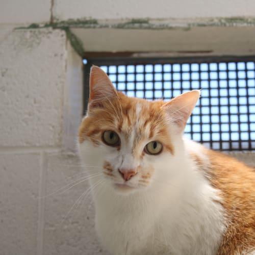 Meggsie 930670 - Domestic Short Hair Cat
