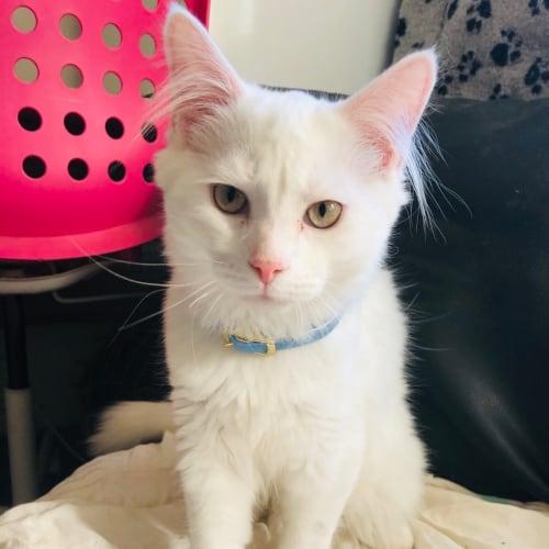 Apollo - Turkish Van x Ragdoll Cat