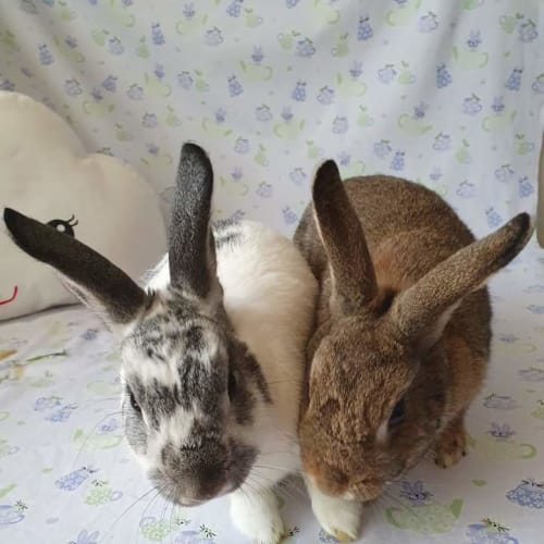 Luca & Bella - Domestic Rabbit
