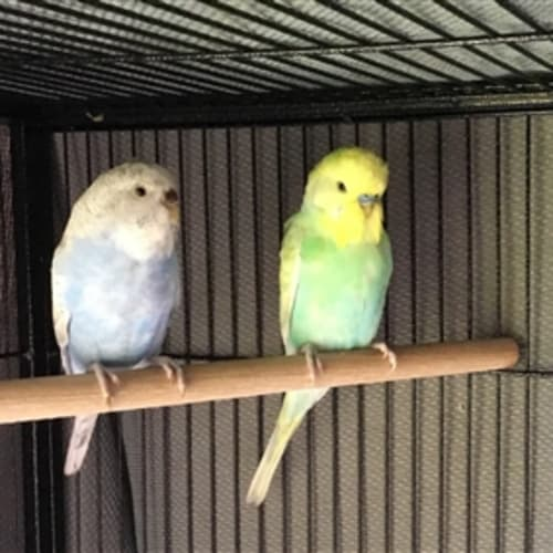 Budgie -  Bird