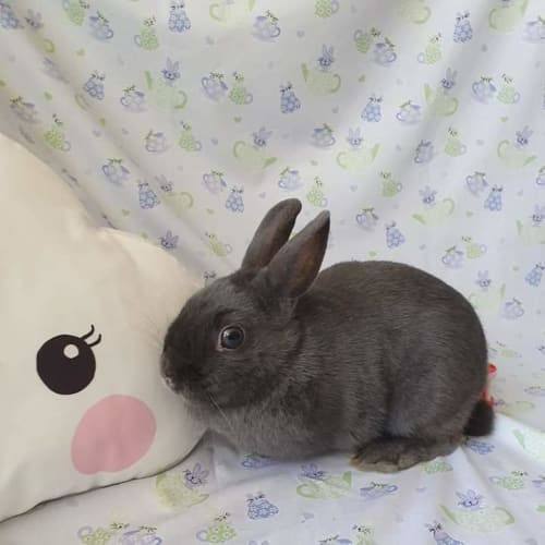 Billie Jean - Netherland Dwarf Rabbit