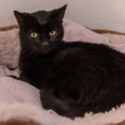 Magellan - Domestic Short Hair Cat
