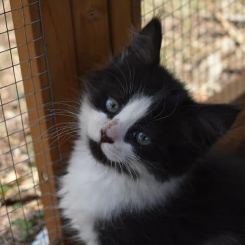 Lois Lane - Domestic Medium Hair Cat
