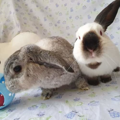 Dusty & Miffy - Dwarf lop Rabbit