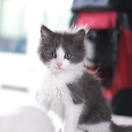 Buster 💙 - Domestic Medium Hair Cat