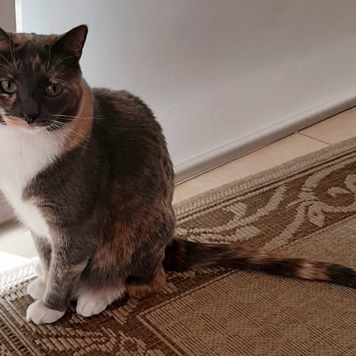 Annie - Located in Eltham - Domestic Short Hair Cat