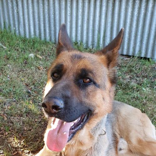 Toby - German Shepherd Dog