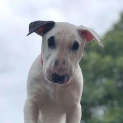 Ruby - foster carer needed - Bull Terrier Dog