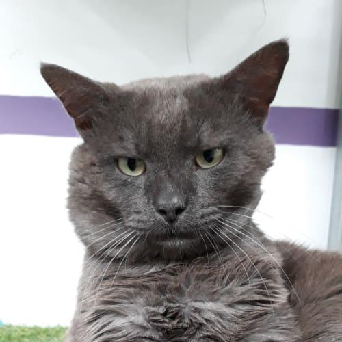 Pongo - Domestic Short Hair Cat