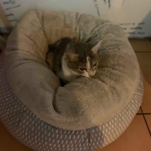 Zari - Domestic Short Hair Cat