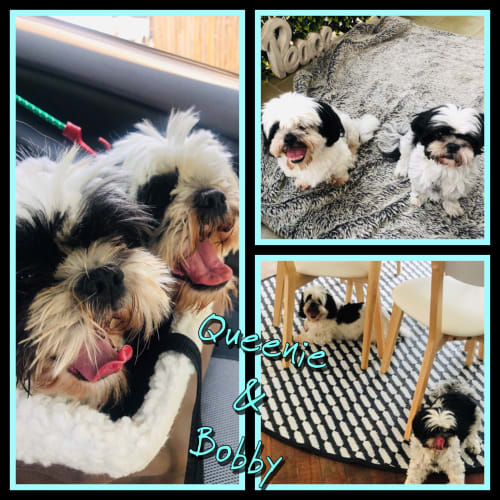 Queenie & Bobby - Shih Tzu Dog