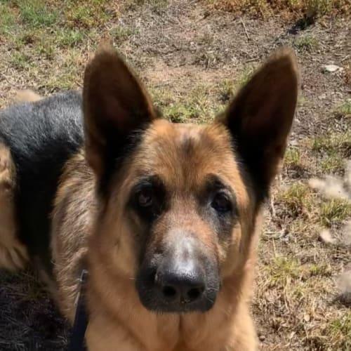 Felicity (bonded with Leo) - German Shepherd Dog