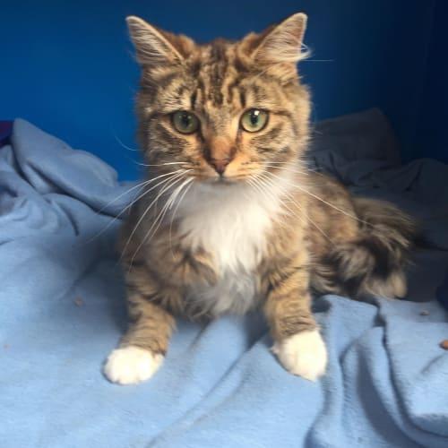 Darling - Located in Fitzroy - Domestic Medium Hair Cat