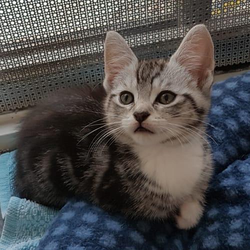 Paris - Domestic Short Hair Cat