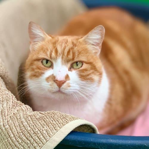 Alvin ID46589 - Domestic Short Hair Cat