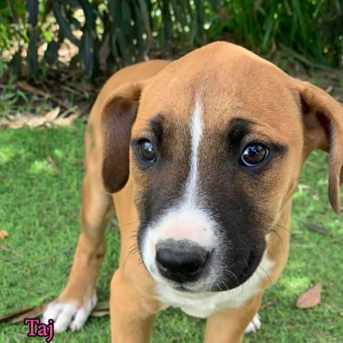 Taj - Mastiff Dog