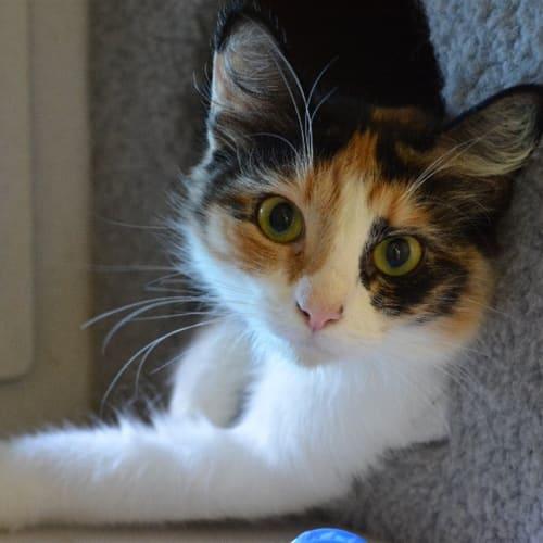 Kallie - Domestic Medium Hair Cat