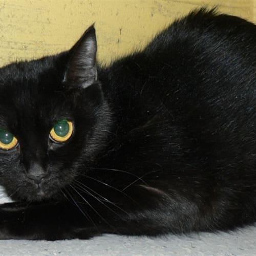 Leila - Domestic Short Hair Cat