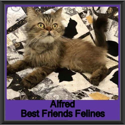 Alfred  - Persian Cat