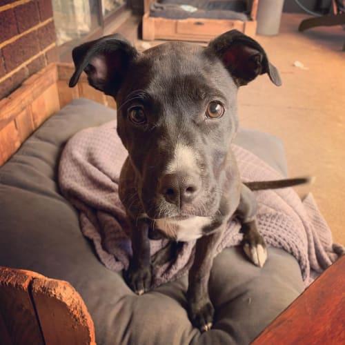 Biscuit - Staffy Dog