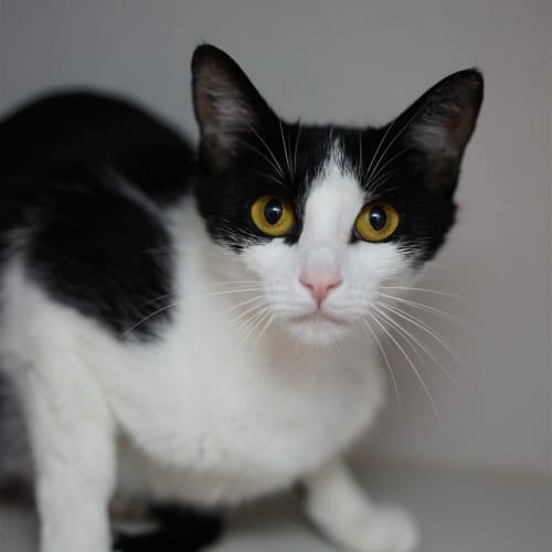 Bexley - Domestic Short Hair Cat