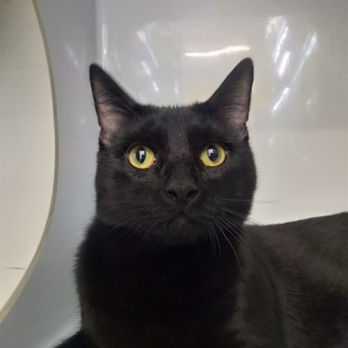 B.B. - Domestic Short Hair Cat