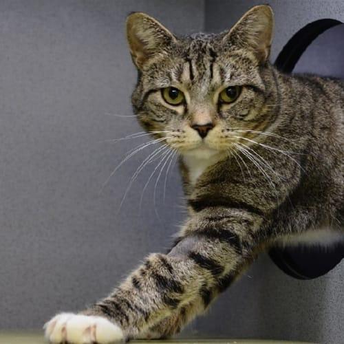 Sienna - Domestic Short Hair x Manx Cat