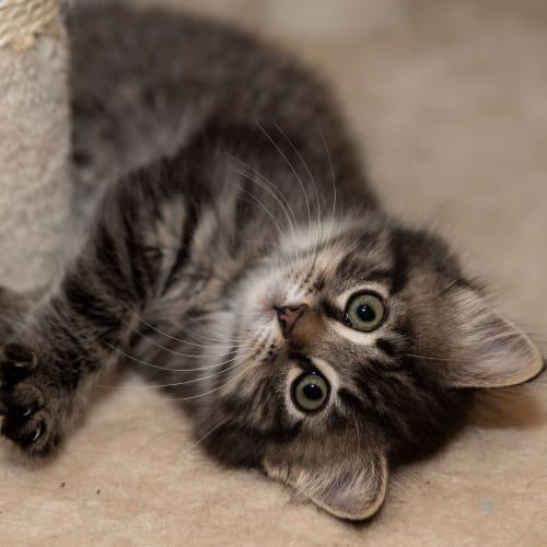Clover - Domestic Medium Hair Cat
