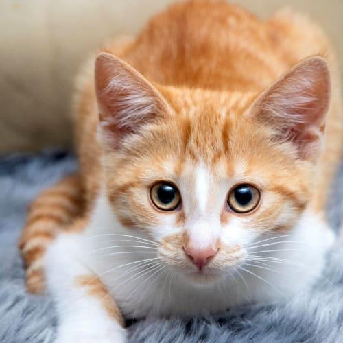 Lydia - Domestic Short Hair Cat